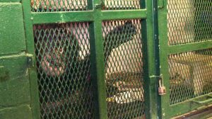 chimpanzee - Copy