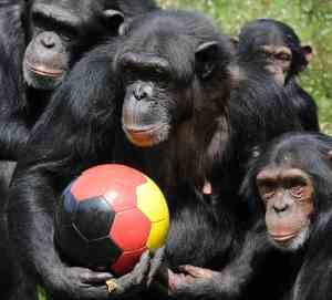 Chimpanzee-Images-8