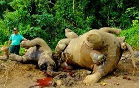 Elephants butchered
