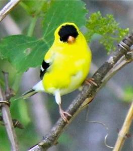idyllicBeautiful-American-Goldfinch-wildlife-photography-22023432-546-621