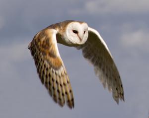 Barn_Owl_in_flight