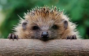 bee6914880-hedgehog