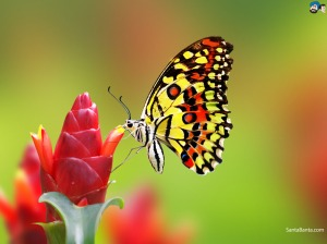 butterfly-18a