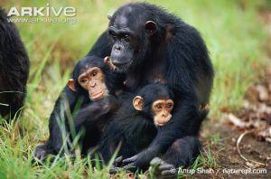 Chimp Female-chimpanzee-with-infants