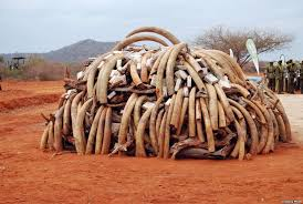 elephant tusks 3