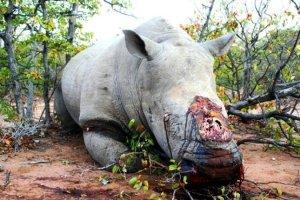 rhino dead-rhino-645X430