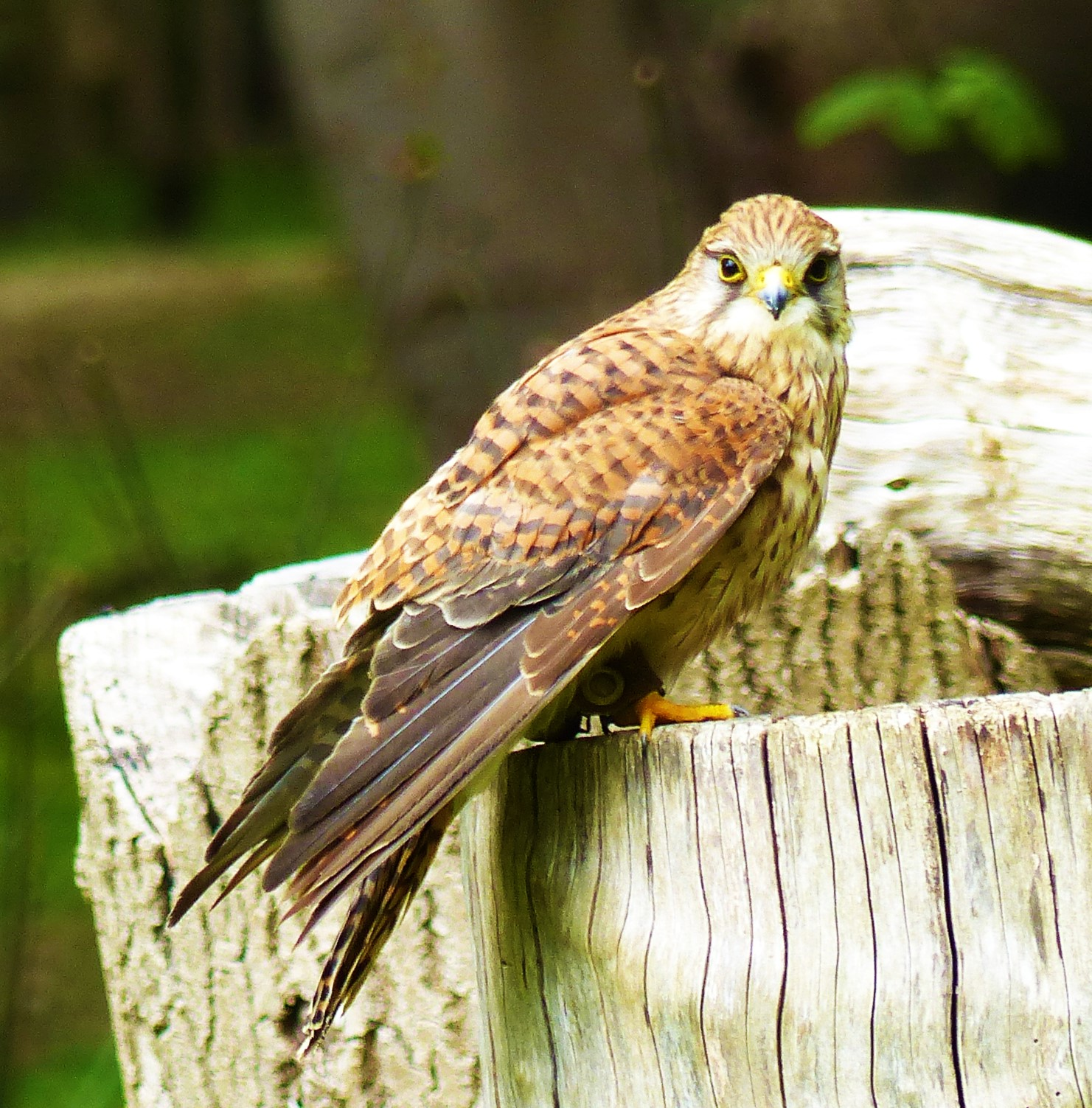 the kestrel in the novel essay Foundation essays us  yorkshire – in the same neighbourhood his most famous novel was situated – came to books relatively late in his own education  a kestrel for a knave has now .
