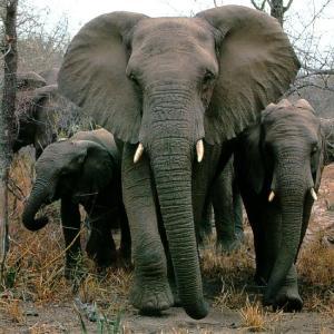 elephants african