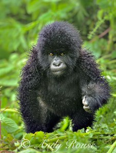 gorilla-wet_1868015i