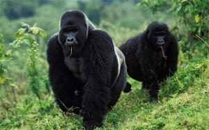 Gorillas_2161968b